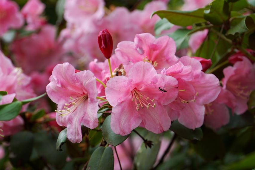 シャクナゲ(石楠花)の花