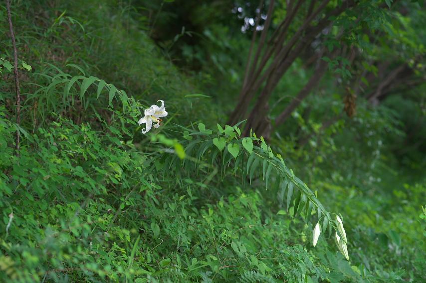 ヤマユリの画像 p1_33